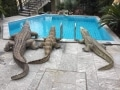 crocodile-en-resine-piscine-classique-D20-006