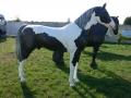 cheval en résine classique 021