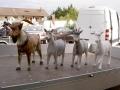 chèvre en résine classique 013