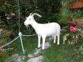 chèvre en résine design 008
