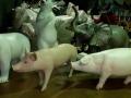 cochon en résine classique 003