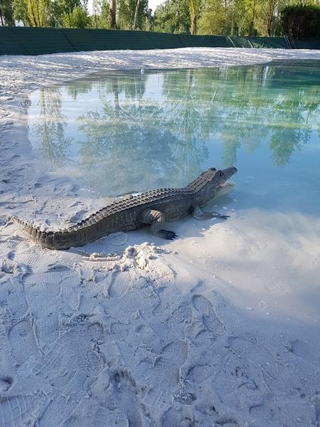 Crocodile animaux en résine classique  030