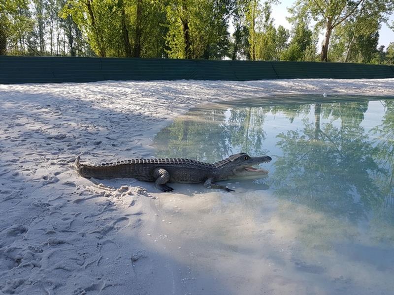 Crocodile animaux en résine classique  032