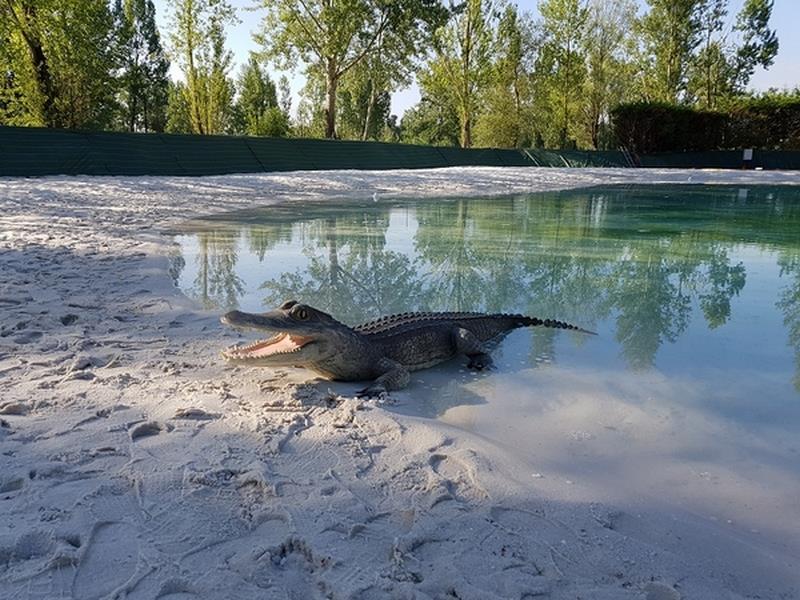 Crocodile animaux en résine classique  033