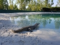 Crocodile animaux en résine classique  031