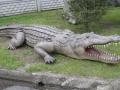 Crocodile animaux en résine classique  038