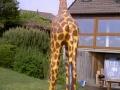 Girafe animaux en résine classique  098