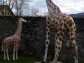 Girafe animaux en résine classique  119