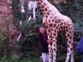 Girafe animaux en résine classique  134