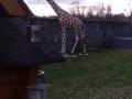 Girafe animaux en résine classique  135