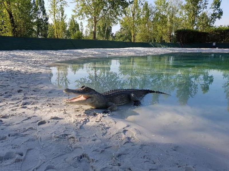 petit crocodile en résine classique 018