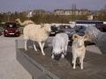 mouton  en résine design   013