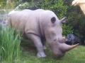 rhinocéros animaux en résine classique  152