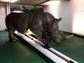 rhinocéros animaux en résine classique  153