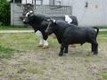 taureau boeuf en résine classique 007