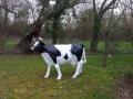 Vache-classique-race-prim-holstein-D20-022
