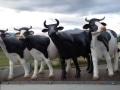 vache  en résine classique   001